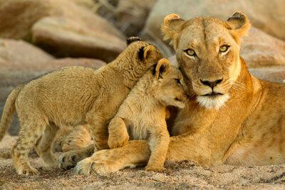 kruger-national-park-lions.jpg